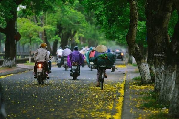 Hoa phượng vàng ở Huế được trồng dọc các con phố Ngô Quyền, ngã ba Phan Bội Châu, Lê Lợi. Nơi đây thu hút nhiều du khách, cũng như những người yêu nhiếp ảnh tới để thỏa sức sáng tác. Ảnh: Tom Hoang